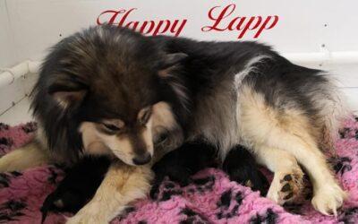 Happy Lapp Elli og Dreamlapin's Akinos