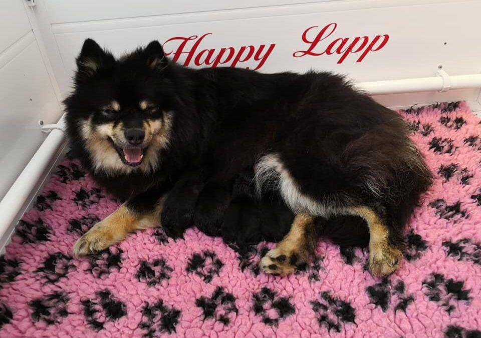 Laponia Musta Ruuso du Pays de l'Aurore Boréale  og  Happy Lapp Idefix